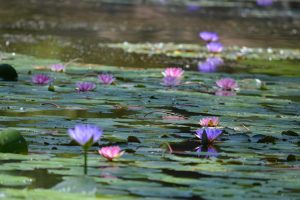 conniehabash_waterlily_spirituality_counseling_psychotherapy_meditation