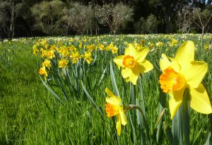 Daffodils in field
