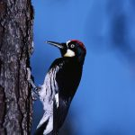 Acorn Woodpecker on a Tree Trunk