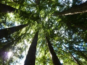 redwoods_conniehabash_spirituality_counseling_meditation_menlopark